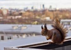 Eichhörnchen auf einem Balkon Lizenzfreie Stockbilder