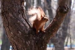 Eichhörnchen auf einem Baum Lizenzfreie Stockfotos