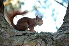 Eichhörnchen auf einem Baum Lizenzfreie Stockfotografie