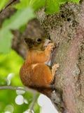 Eichhörnchen auf einem Baum Stockfotografie
