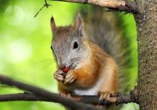 Eichhörnchen auf einem Baum Lizenzfreies Stockfoto