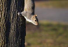 Eichhörnchen auf einem Baum stockbild