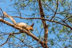 Eichhörnchen auf einem Baum Stockfotos