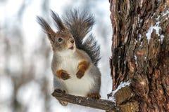 Eichhörnchen auf einem Baum an einem Wintertag Lizenzfreies Stockbild