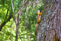 Eichhörnchen auf einem Baum. Sommer Stockbild