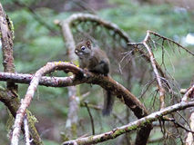 Eichhörnchen auf einem Baumast Stockfotos