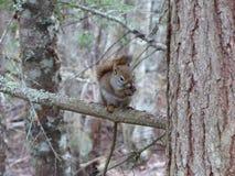 Eichhörnchen auf einem Baumast u. einem x28; Abschluss-up& x29; lizenzfreie stockfotografie