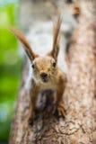 Eichhörnchen auf einem Baumpark Stockfotografie