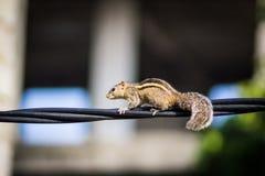 Eichhörnchen auf einem schwarzen Draht stockfoto