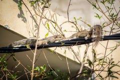 Eichhörnchen auf einem schwarzen Draht Lizenzfreies Stockbild