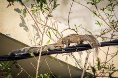Eichhörnchen auf einem schwarzen Draht Lizenzfreie Stockfotos