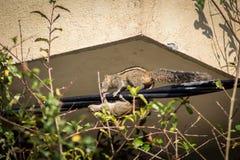 Eichhörnchen auf einem schwarzen Draht Lizenzfreies Stockfoto