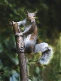 Eichhörnchen auf einem Steuerknüppel Lizenzfreies Stockfoto