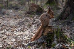 Eichhörnchen auf einem Stumpf Stockbild