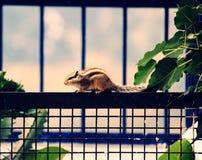 Eichhörnchen auf einem Zaun lizenzfreies stockfoto