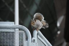 Eichhörnchen auf einem Zaun Stockbild
