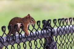 Eichhörnchen auf einem Zaun Lizenzfreies Stockbild