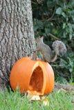 Eichhörnchen auf einen Kürbis Stockfotografie