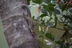 Eichhörnchen auf einer Kokosnusspalme Lizenzfreie Stockfotografie