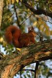 Eichhörnchen auf einer Niederlassung Stockbilder