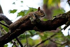 Eichhörnchen auf einer Niederlassung lizenzfreies stockfoto