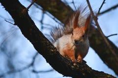 Eichhörnchen auf einer Niederlassung Stockfotografie