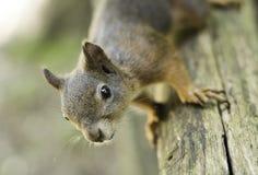 Eichhörnchen auf einer Schiene, welche die Kamera betrachtet Stockbild