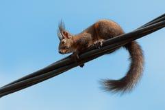 Eichhörnchen auf einer Versorgungsleitung Stockfoto