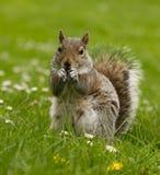 Eichhörnchen auf einer Wiese Stockbilder