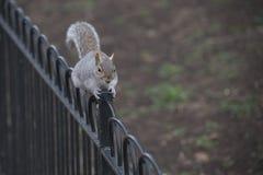 Eichhörnchen auf Geländer stockfoto