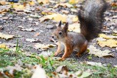 Eichhörnchen auf gelben Blättern lizenzfreie stockbilder