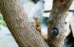 Eichhörnchen auf großem winkligem Baumast Lizenzfreies Stockbild