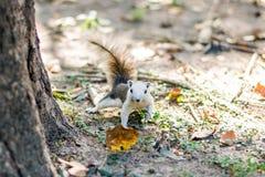Eichhörnchen auf Herbstwald Stockfotos