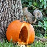 Eichhörnchen auf Kürbis Lizenzfreie Stockfotografie