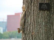 Eichhörnchen auf Pin Oak Tree Stockbilder