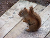 Eichhörnchen auf Plattform Stockfoto