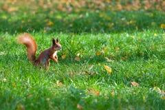 Eichhörnchen auf Rasen stockbilder