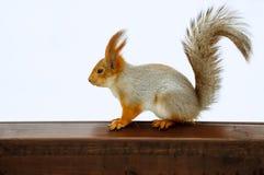 Eichhörnchen auf Schreibtisch Stockbild