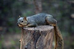 Eichhörnchen auf Stumpf Lizenzfreies Stockbild