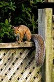 Eichhörnchen auf Zaun Stockbild