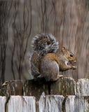 Eichhörnchen auf Zaun gegen einen eingebildeten Waldhintergrund Lizenzfreie Stockbilder