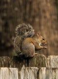 Eichhörnchen auf Zaun mit Misty Fantasy Background Stockbilder