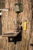 Eichhörnchen auf Zufuhr Stockfotografie
