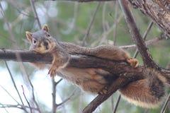 Eichhörnchen auf Zweig Lizenzfreies Stockfoto
