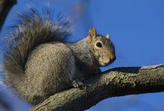 Eichhörnchen auf Zweig lizenzfreie stockfotos
