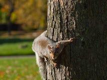 Eichhörnchen-Aufstellung Stockfotografie