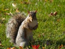 Eichhörnchen-Aufstellung Stockbild