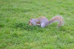 Eichhörnchen aus den Grund Lizenzfreie Stockbilder