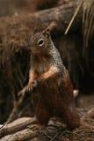 Eichhörnchen aus seinem Loch heraus Lizenzfreies Stockfoto
