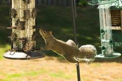 Eichhörnchen-Ausstossen von Unreinheiten für Nahrung Lizenzfreie Stockfotos